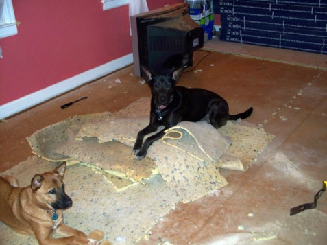 dogs rage against the removal of the carpet